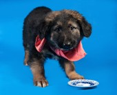 Black and red shaggy puppy in red bandanna standing on blue  — Stock Photo