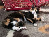 Tricolor kitten lying on blanket — Stock Photo