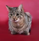 Tabby cat lying on burgundy  — Stock Photo