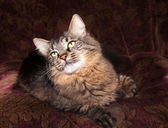 Striped siberian cat lies in chair — Stock Photo