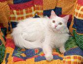 White cat with yellow eyes lying on motley  — Stock Photo