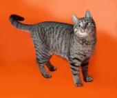 Tabby kitten teenager standing on orange  — Stock Photo