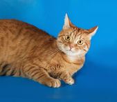 Red cat lies on blue — Stock Photo
