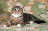 Tabby and white cat lying on couch — Stock Photo