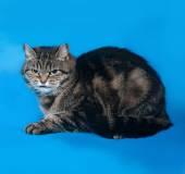 Striped kitten lying on blue  — Stock Photo