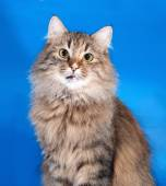 Tricolor cat sitting on blue  — Stock Photo