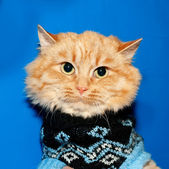 Ginger bobbed cat in sweater on blue  — Stock Photo