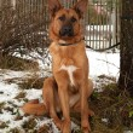 Ginger big dog sitting on background of trees and fences — Stock Photo #64245993