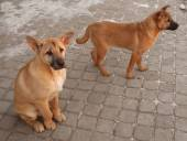 Two red puppy sitting on paving slabs — Stock Photo