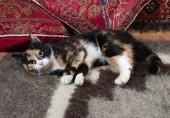 Tricolor kitten lying on blanket — Fotografia Stock