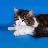 青の三色猫嘘 — ストック写真