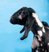 Black, white and red Nubian lamb on blue — Stock Photo