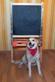 Red dog in bandanna sitting next to blackboard — Stock Photo