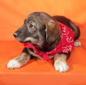 Brown puppy in red bandanna lying on orange  — Stock Photo
