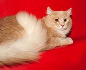 Ginger cat teenager lying on red  — Stockfoto