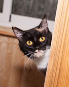 Tricolor cat peeking from balcony — Stock Photo