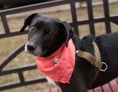 Little old black and white dog in pink cravat stands on bench — Stock Photo