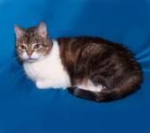 Striped and white cat lies on blue  — Stock Photo