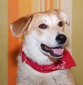 Red dog in red bandanna on background of wallpaper — Stock Photo
