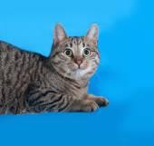 Striped cat lies on blue  — Photo