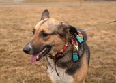 Yellow and black dog in colorful bandanna standing on autumn gra — Stock Photo