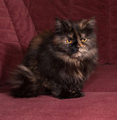 Tortoiseshell cat breed Exot sits on sofa — Stock Photo