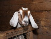 Nubian brown goat in barn — Foto Stock