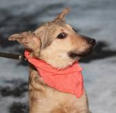 Yellow puppy in pink bandanna  — Stock Photo