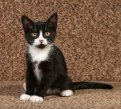 Black and white kitten sitting on couch — Stock Photo