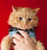 Ginger bobbed cat in sweater on red  — Stock Photo