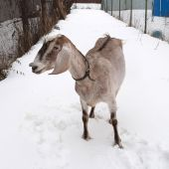 Nubian brown goat standing on snow — Stockfoto