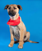 Thin yellow puppy in red bandanna sitting on blue  — Stock Photo