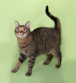 Tabby cat standing on green  — Stock Photo