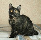 Tortoiseshell cat lies on plaid blanket — Stock Photo