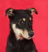 Black and yellow puppy on red  — Stock Photo