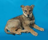 Little yellow puppy lies on blue — Stock Photo