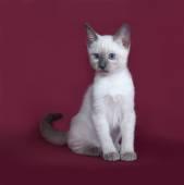 Thai white kitten sitting on burgundy  — Foto de Stock