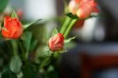 Orange rose on background room — Foto de Stock