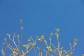 Leaves on the tips of tree branches against the blue sky, spring — Stock Photo