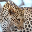 African Leopard — Stock Photo #54382447