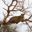 African Leopard — Stock Photo #54382577