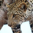 African Leopard — Stock Photo #54382717