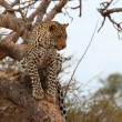 African Leopard — Stock Photo #54382829