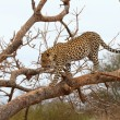 African Leopard — Stock Photo #54382899