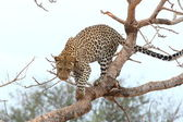 African Leopard — Stock Photo