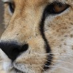 Постер, плакат: African Cheetah