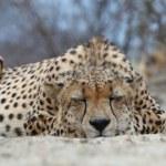 ������, ������: African Cheetah