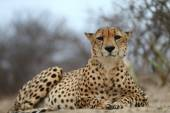 African Cheetah — Stock Photo
