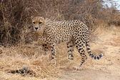 African Cheetah — Stock Photo