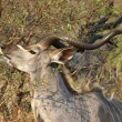 Greater Kudu — Stock Photo #55274025